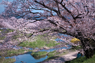 鴨川と桜の写真素材 [FYI04071332]