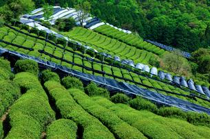 茶畑の写真素材 [FYI04071382]