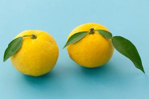 柚子の写真素材 [FYI04071453]