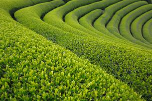 茶畑の写真素材 [FYI04071560]