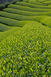 茶畑の写真素材 [FYI04071567]
