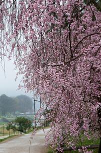 半木の道 桜並木の写真素材 [FYI04071699]