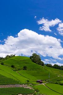 茶畑の写真素材 [FYI04071735]