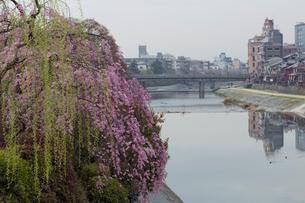 鴨川と桜の写真素材 [FYI04072073]
