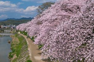 高野川の桜並木の写真素材 [FYI04072075]