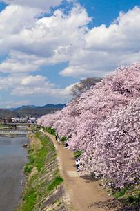 高野川の桜並木の写真素材 [FYI04072076]