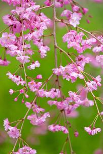 八重紅枝垂れ桜の写真素材 [FYI04072078]