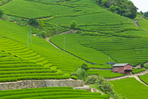 和束町 茶畑の写真素材 [FYI04072084]