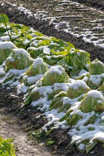 雪中野菜 白菜の写真素材 [FYI04072266]