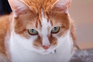ぼんやりする猫の写真素材 [FYI04072458]