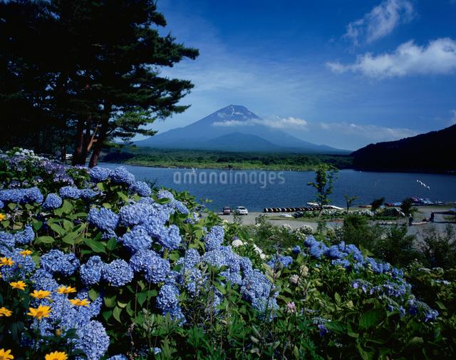 富士山とアジサイの写真素材 [FYI04072474]
