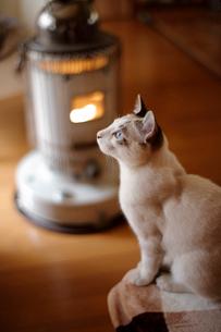 ストーブの前で暖をとる子猫の写真素材 [FYI04072633]