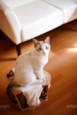 リビングでくつろぐ猫の写真素材 [FYI04072651]