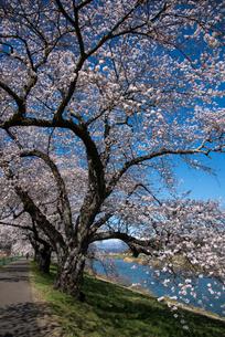 白石川一目千本桜の写真素材 [FYI04072657]