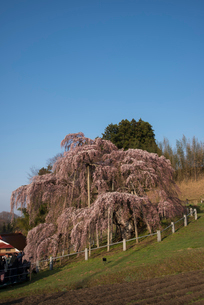 三春滝桜の写真素材 [FYI04072675]