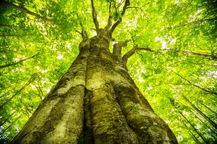 新緑ブナ巨木の写真素材 [FYI04072745]
