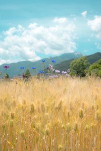 麦畑の写真素材 [FYI04072878]