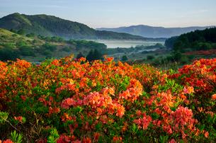 霧ヶ峰高原朝日に輝くレンゲツツジ花畑と八島ヶ原湿原の写真素材 [FYI04072892]