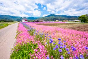 フクロナデシコ咲き誇る南箕輪村の花畑の写真素材 [FYI04072897]