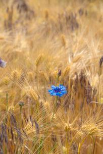 ヤグルマソウ咲く麦畑の写真素材 [FYI04072907]