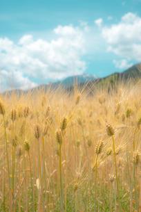 麦畑の写真素材 [FYI04072916]