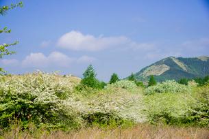 コナシ満開の霧ヶ峰高原の写真素材 [FYI04072917]