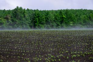 トウモロコシ苗畑の蒸気霧の写真素材 [FYI04072926]