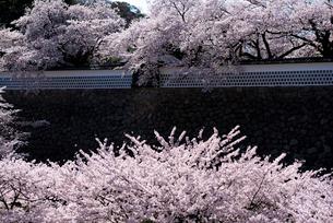 満開の桜と金沢城公園の写真素材 [FYI04072971]