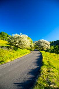 入笠高原 一本道とコナシ咲く並木の写真素材 [FYI04073160]