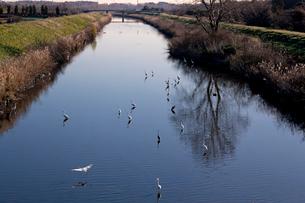 芝川に集うサギたち  見沼田んぼの写真素材 [FYI04073284]