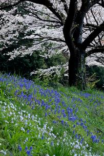 ハナニラとムスカリと見沼代用水東縁の桜の写真素材 [FYI04073337]