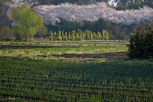 朝の光さす若葉の畑と見沼代用水東縁の桜並木の写真素材 [FYI04073347]