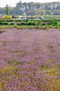 ホトケノザに覆われる畑と農作業の人 見沼田んぼの写真素材 [FYI04073353]