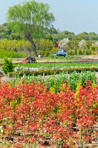 ベニカナメモチの赤が映える春の見沼田んぼと農作業の写真素材 [FYI04073384]