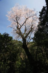 エドヒガン桜の写真素材 [FYI04073386]