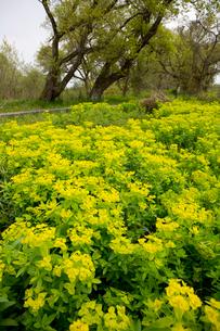 琵琶湖畔に満開の野漆の花の写真素材 [FYI04073603]