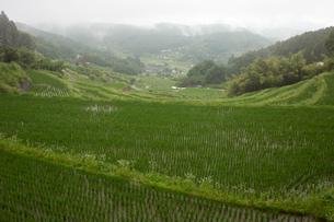 室生山中腹から撮る霧雨の棚田の写真素材 [FYI04073604]