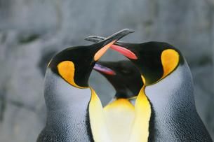 ペンギンの写真素材 [FYI04073656]