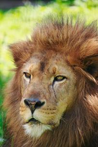 ライオンの写真素材 [FYI04073665]