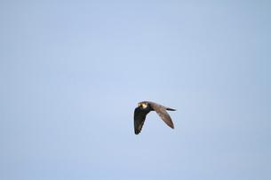 ハヤブサの飛翔の写真素材 [FYI04073726]