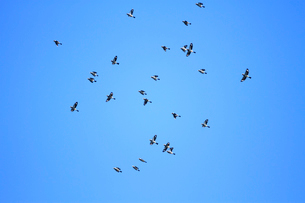 群れで飛ぶイカルの写真素材 [FYI04073731]