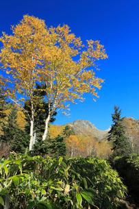 ダケカンバの黄葉と焼岳の写真素材 [FYI04073747]
