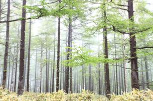 霧のカラマツ林の写真素材 [FYI04073763]