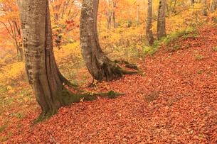 天水越のブナ林紅葉の写真素材 [FYI04073788]