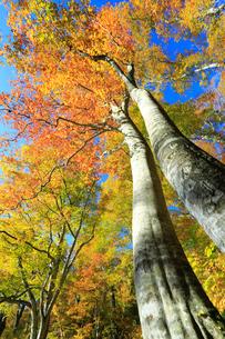 紅葉のブナ林の写真素材 [FYI04073822]