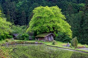 根羽村の柿の木と小屋の写真素材 [FYI04074085]