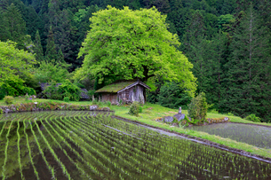 根羽村の柿の木と小屋の写真素材 [FYI04074095]