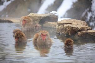 温泉に入るニホンザルの写真素材 [FYI04074203]