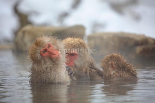 温泉に入るニホンザルの写真素材 [FYI04074206]