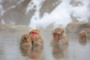 温泉に入るニホンザルの写真素材 [FYI04074208]
